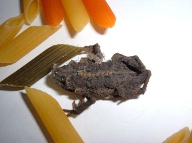 frog in pasta